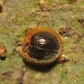 False lady beetle Nilio sp.? (15632249831).jpg