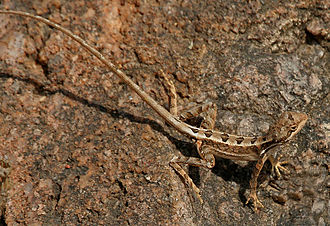 Agamidae - Fan-throated lizard Sitana ponticeriana from the Agaminae