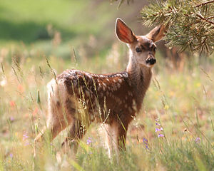 Fawn Under a tree