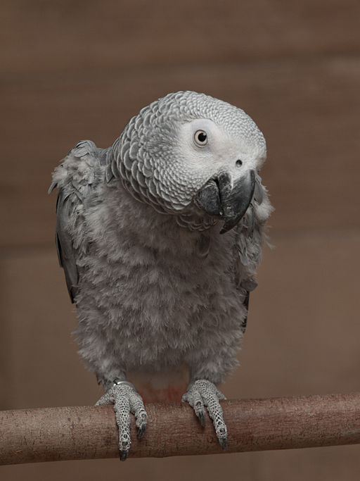 Feather picking african grey