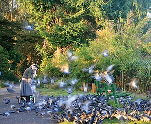 English: Feeding pigeons, Columba livia França...