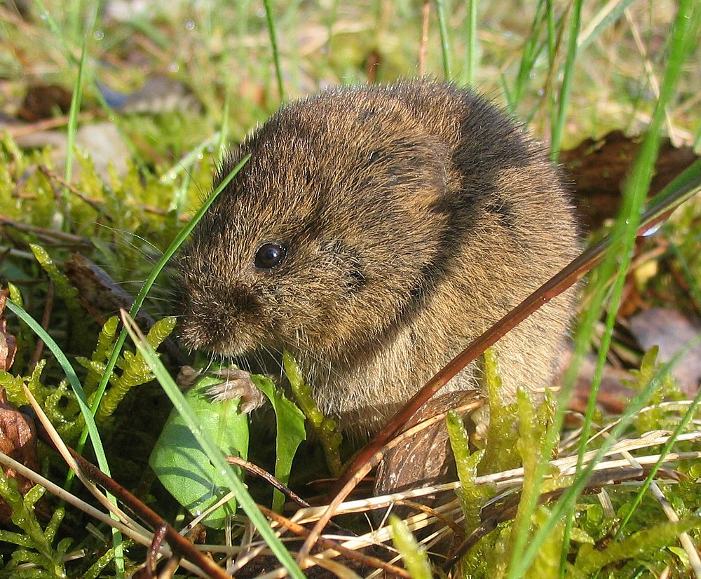 The average litter size of a Common vole is 4
