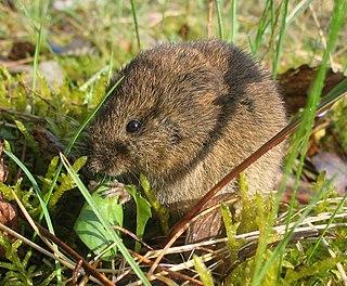 Common vole species of mammal