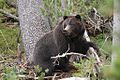 Female Black Grizzly Bear (Ursus arctos horribilis).jpg