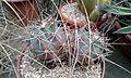 Ferocactus emoryi 1e.jpg