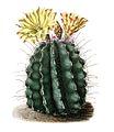 Ferocactus hamatacanthus ssp hamatacanthus BlKakteen Tafel 9.jpg