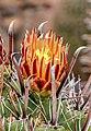 Ferocactus herrerae 002.jpg