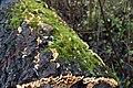 Feuchtes Biotop im Totholz.jpg