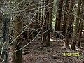 Fichtenacker mit Wildschäden - panoramio.jpg