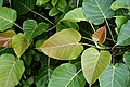 Ficus arnottiana 1906.jpg
