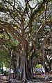Ficus del parc de Canalejas, Alacant.JPG