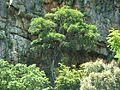 Ficus ingens, habitus, Skeerpoort.jpg