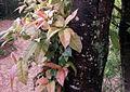 Ficus lacor 02.jpg