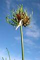 Field or Wild Garlic (Allium vineale) - Flickr - Jay Sturner (3).jpg