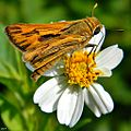 Fiery Skipper (Hylephila phyleus) ♂ (7898971392).jpg