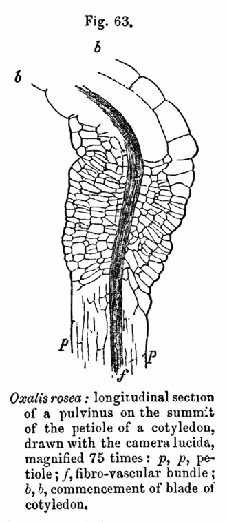 Pulvinus - Section through the pulvinus of Oxalis rosea, from: Charles Darwin (1880): The Power of Movement in Plants.