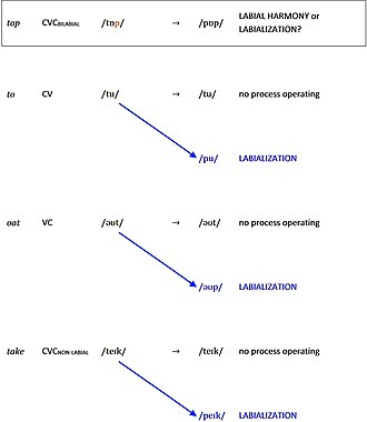 Labialization - Labial harmony may be confused with labialization. Therefore, investigators need to determine whether or not the target consonant changes to a labial in contexts lacking a labial.