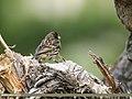 Fire-fronted Serin (Serinus pusillus) (36385425035).jpg