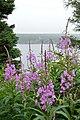 Fireweed (Chamaenerion angustifolium) - Mobile, Newfoundland 2019-08-09.jpg