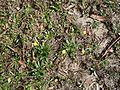 Flat weed (3148973339).jpg