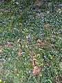 Fleurs mauves (4584949176).jpg