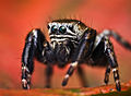 Flickr - Lukjonis - Jumping spider - Evarcha arcuata (Set of pictures).jpg