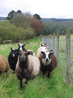 Image result for shetland sheep images