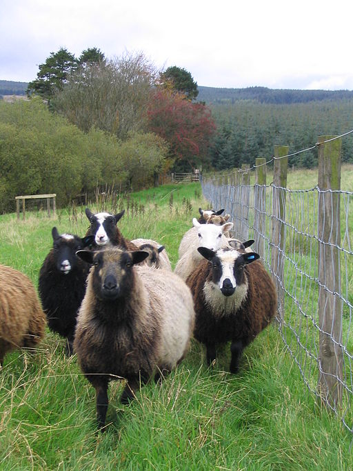 Flock of shetland sheep
