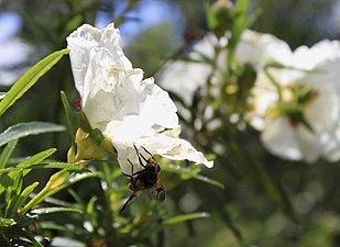 Flor 2 Cuenca Manzanares.jpg
