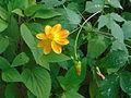 Flor amarilla 02.JPG