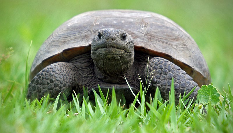 Gopher Tortoise - source: commons.wikimedia.org