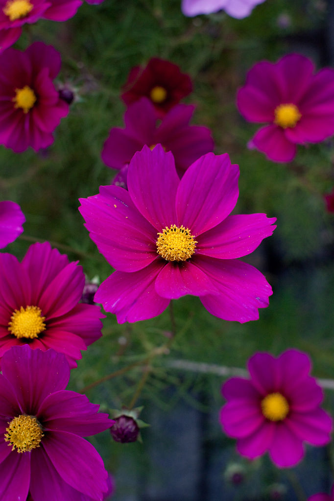 file flower  cosmos  u0026quot early sensation u0026quot