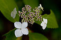 "Flower, Hydrangea ""Beni-Yamaajisai"" - Flickr - nekonomania (1).jpg"