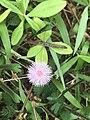 Flower of mimosa.jpg