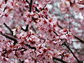 Flowering-plum-tree-spring - West Virginia - ForestWander.jpg