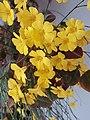 Flowers of Oxalis hedysaroides.jpg