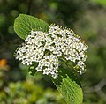 Flowers of Viburnum lantana 01.jpg