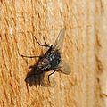 Fly, Sandy, Bedfordshire (13992128643).jpg