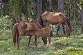 Foal feeding time at Laceys Creek-1 (11023416305).jpg