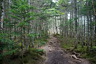 Mount Kinpu - Image: Forest in Okuchichibu Mountains 04