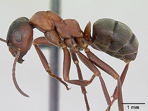 Präparierte Formica sanguinea -Arbeiterin