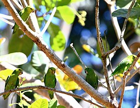 Forpus sclateri - Dusky-billed Parrotlet (flock).JPG