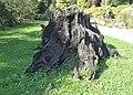 Fossil oak kz01.jpg