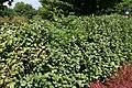 Fothergilla gardenii Mt. Airy 2zz.jpg