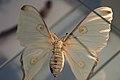 Four-spot moth (39819751652).jpg