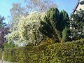 Frühling weht sein blaues Band... - panoramio.jpg
