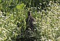 Francolinus francolinus - Black francolin.jpg