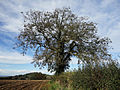 Fraxinus excelsior Stroud Gloucestershire.jpg