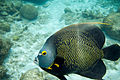 French angelfish Pomacanthus paru (4661346797).jpg