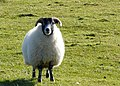 Friendly sheep^ - geograph.org.uk - 706988.jpg
